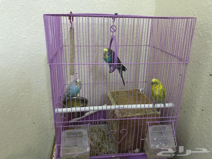 طيور بادجي ( طيور الحب )