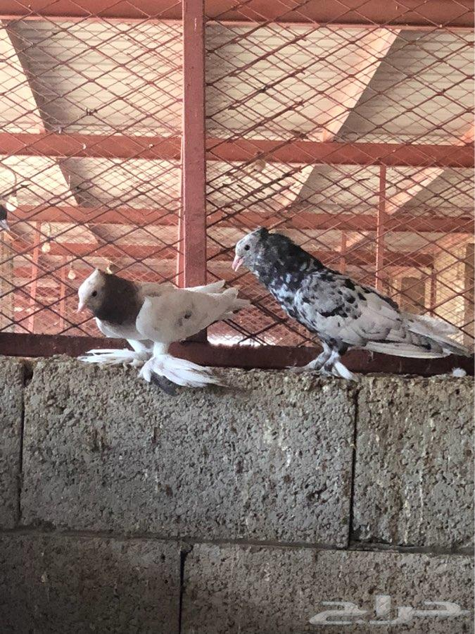 عشه حمام صنعاوي 25 جوز