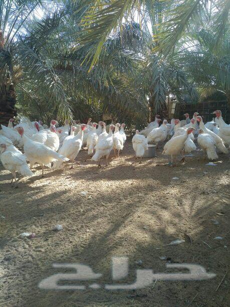 للبيع  دجاج  ديوك   روميه
