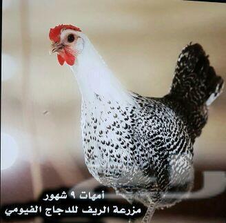 دجاج فيومي وبيض مخصب .