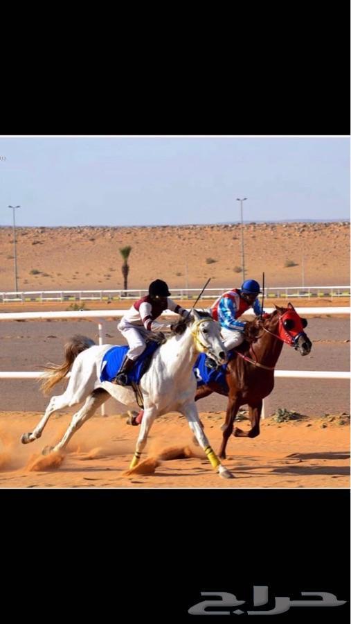 حصان حفيد عامر