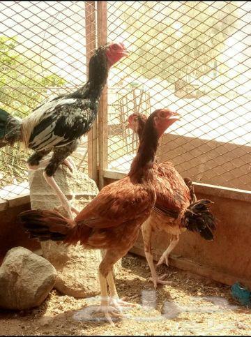 دجاج بلجيكي للبيع