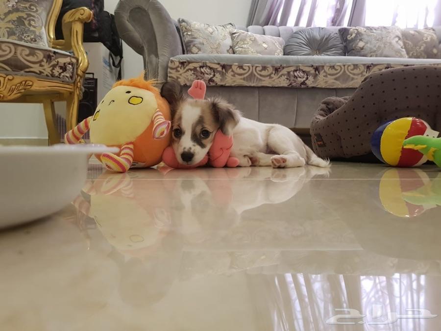 الرياض - كلب مالتيز العمر 4