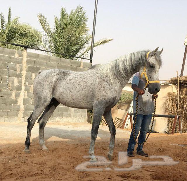 حصان واهو شيخ
