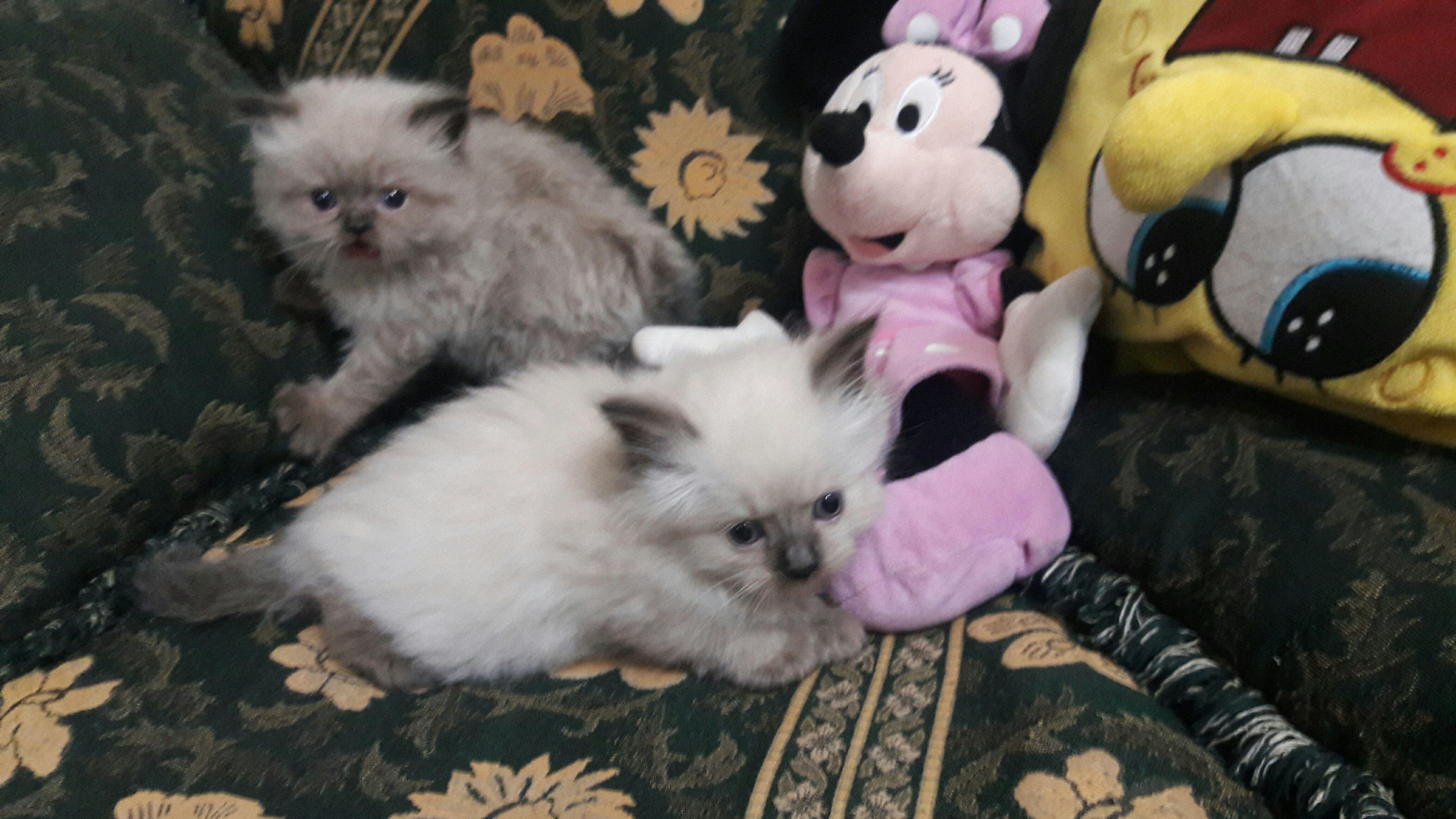 »  قطط للبيع