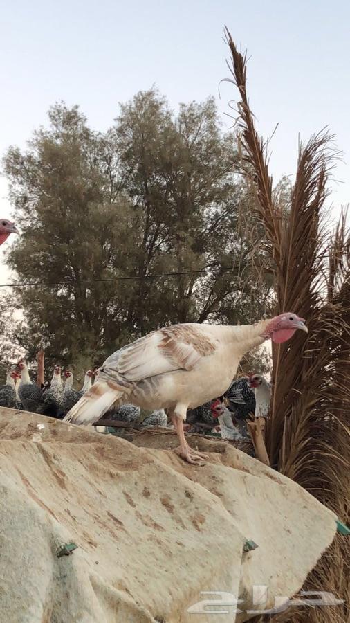 أطقم دجاج رومي بشاير