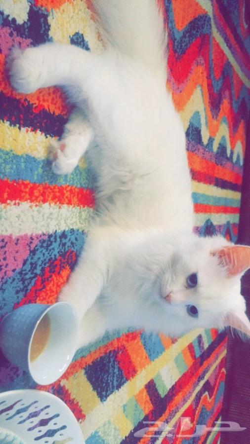 »  الدمام - قطوة شيرازيه انثى