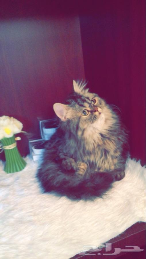 قطه شرازيه