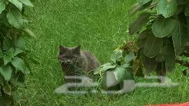 ثلاث قطط  شيرازيات اليفة