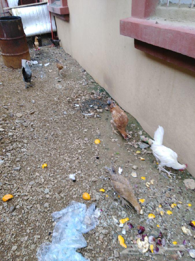 دجاج المخواه