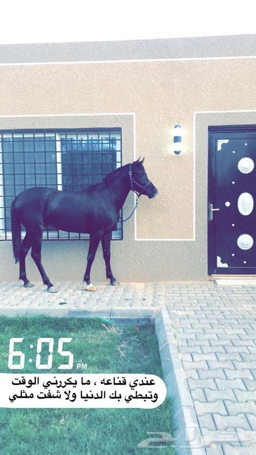 حصان واهو اسود