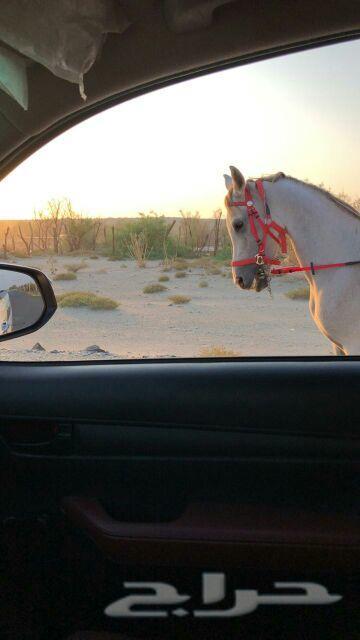 حصان شعبي شيخ طرب في الركوب