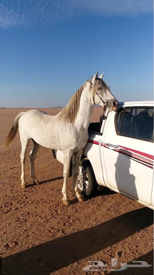 بيع حصان