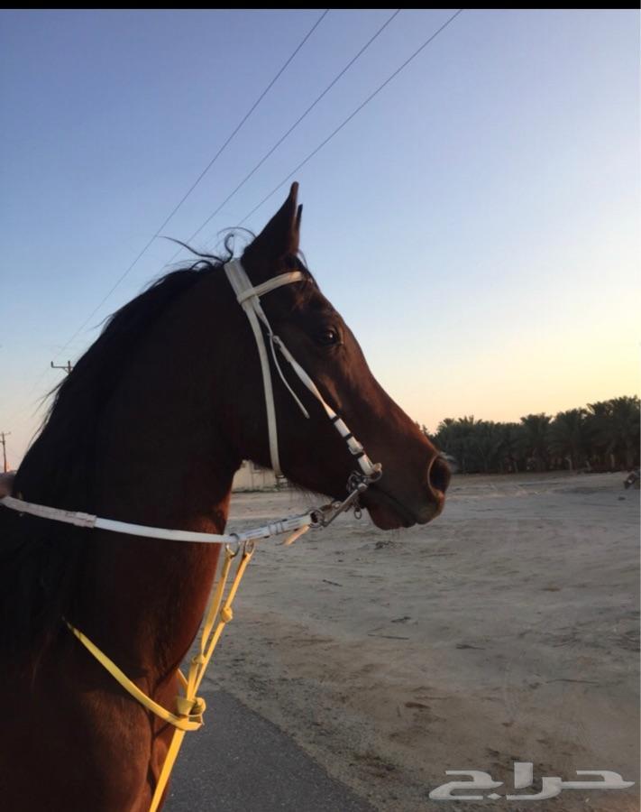 حصان شعبي شيخ للبيع او البدل ب خيل مناسب