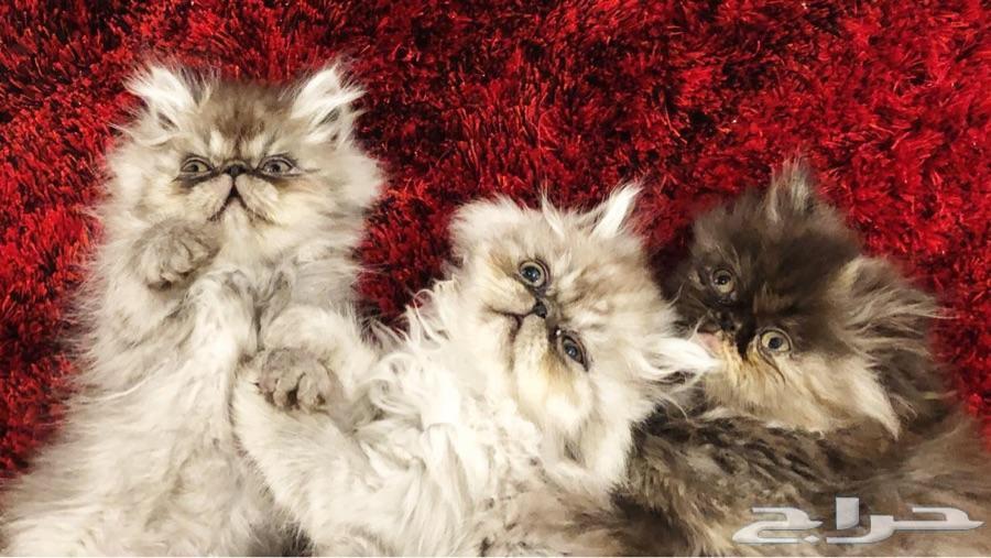 قطط عدد 3 كتن بيكي فيس