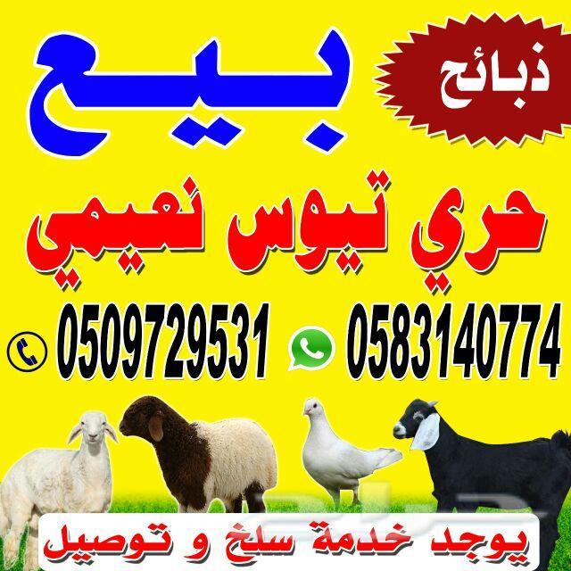 ذبايح ثلاجة برية للبيع (Sheep for sale)