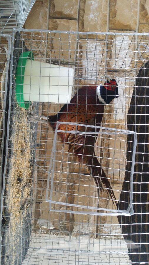 طاوويس وفزنت احمر وازرق وفرعوني وقطا .