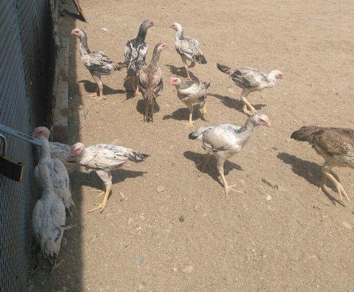 عرض اليوم . دجاج فارسي عدد 13  أغلبها دجاجات