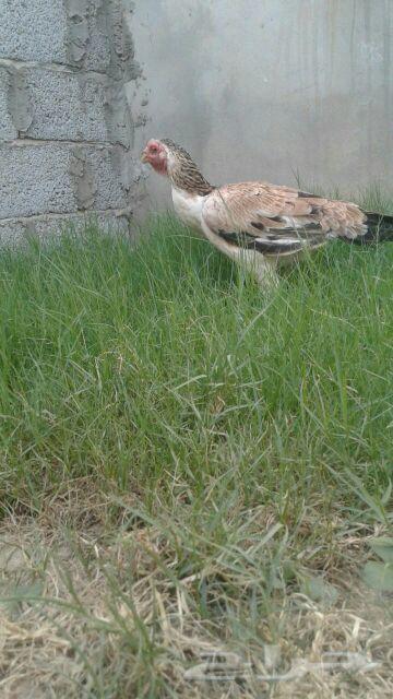 دجاجه فارسي