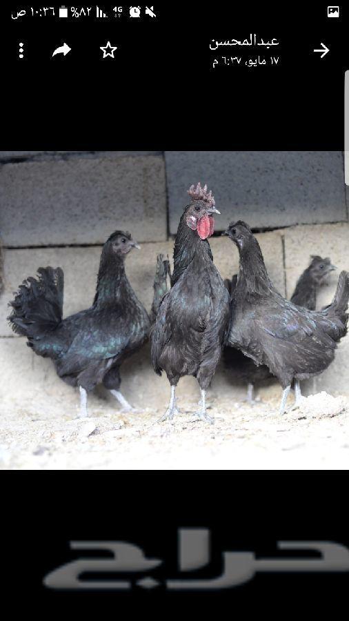 دجاج عربي حباحب كويتي