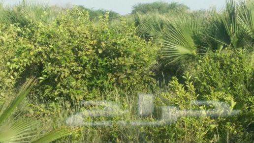 لبيع نجيلة خضراء وجميع انواع النباتات الطبيعي