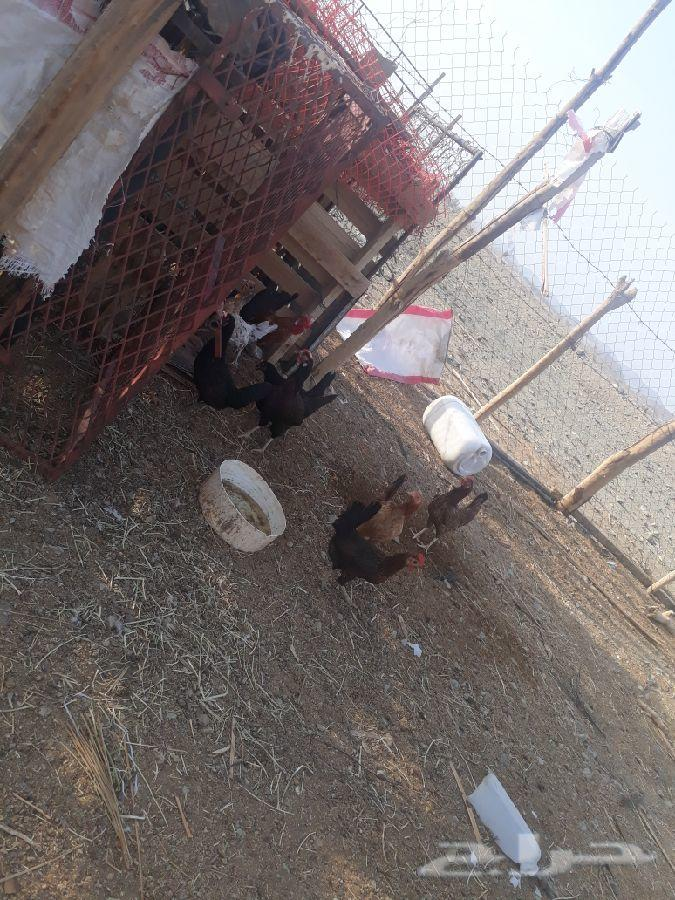 دجاج بلدي للبيع 30 ريال