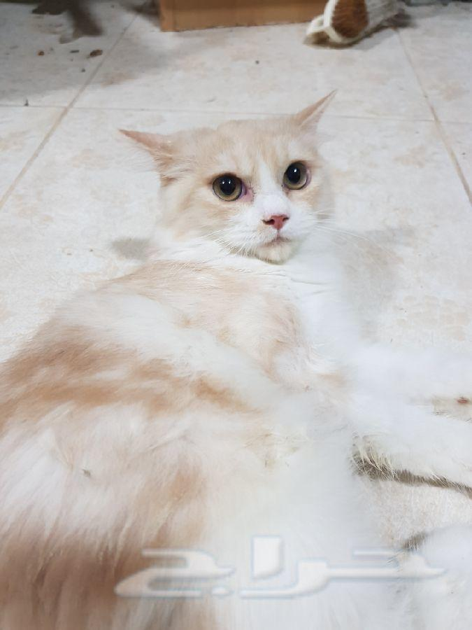 قط شيرازي عمر ٤ شهور