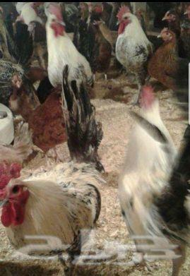 بيض دجاج بلدي مخصب تهجين فيوميات