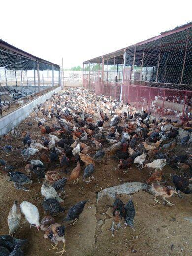 دجاج فيوم وبلدي