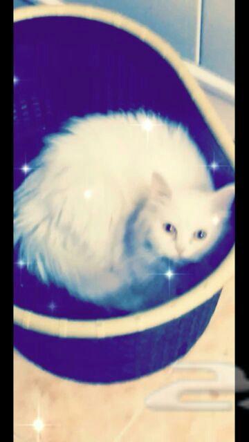 قطة هاف بكي جميله وحبوبه للبيع