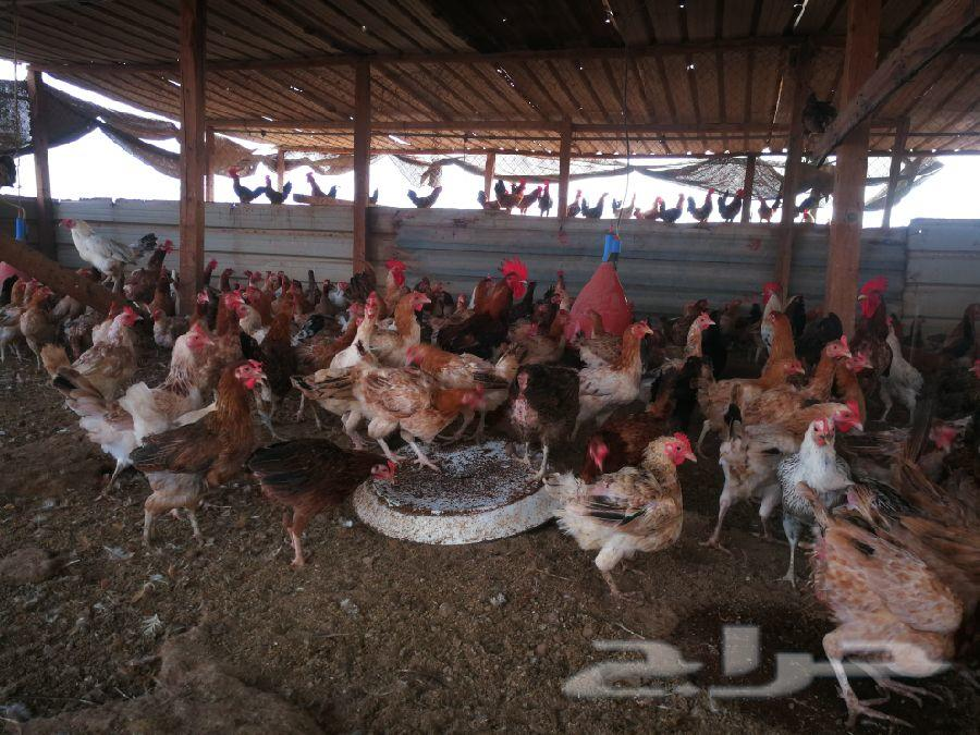 للبيع دجاج بلدي شمال جده