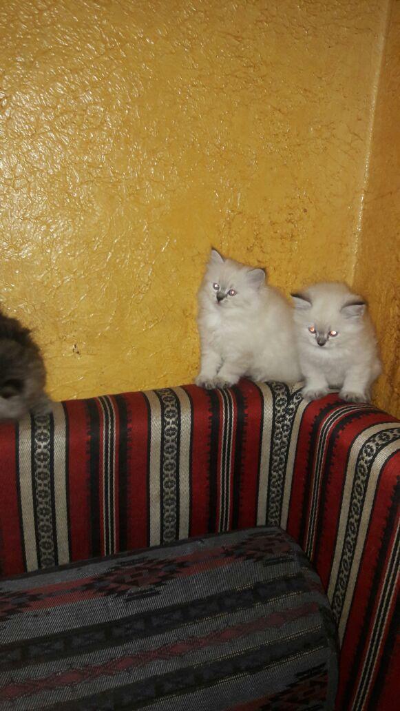 للبيع ثلاث قطط هملاي شهرين