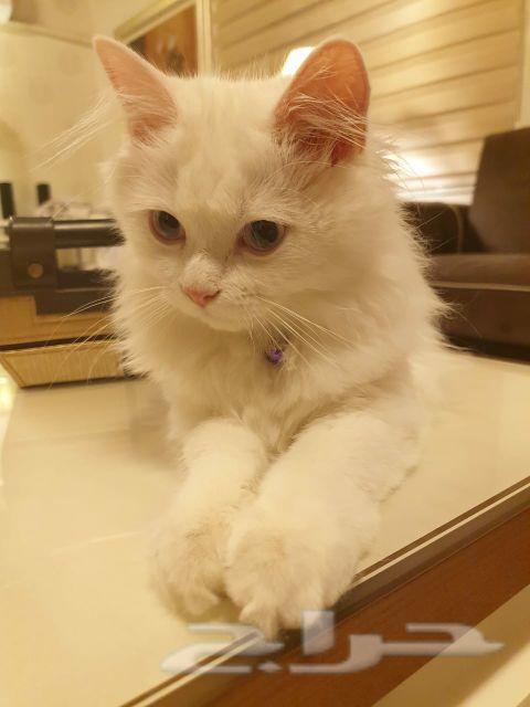 3 قطط للبيع   العمر  5 شهور