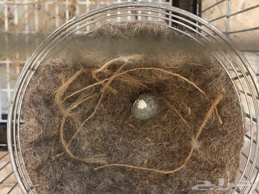 جوز كناري ابيض مع بيض