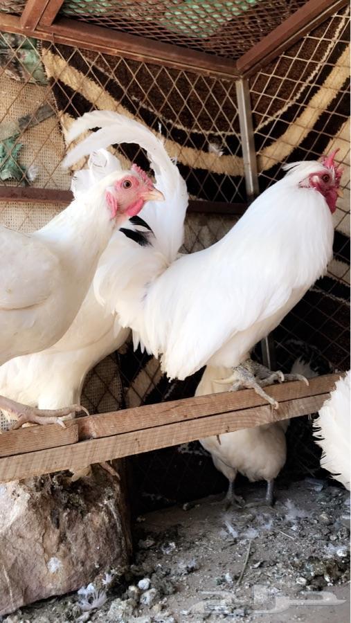 ابها دجاج حباحب 3 دجاج بلدي