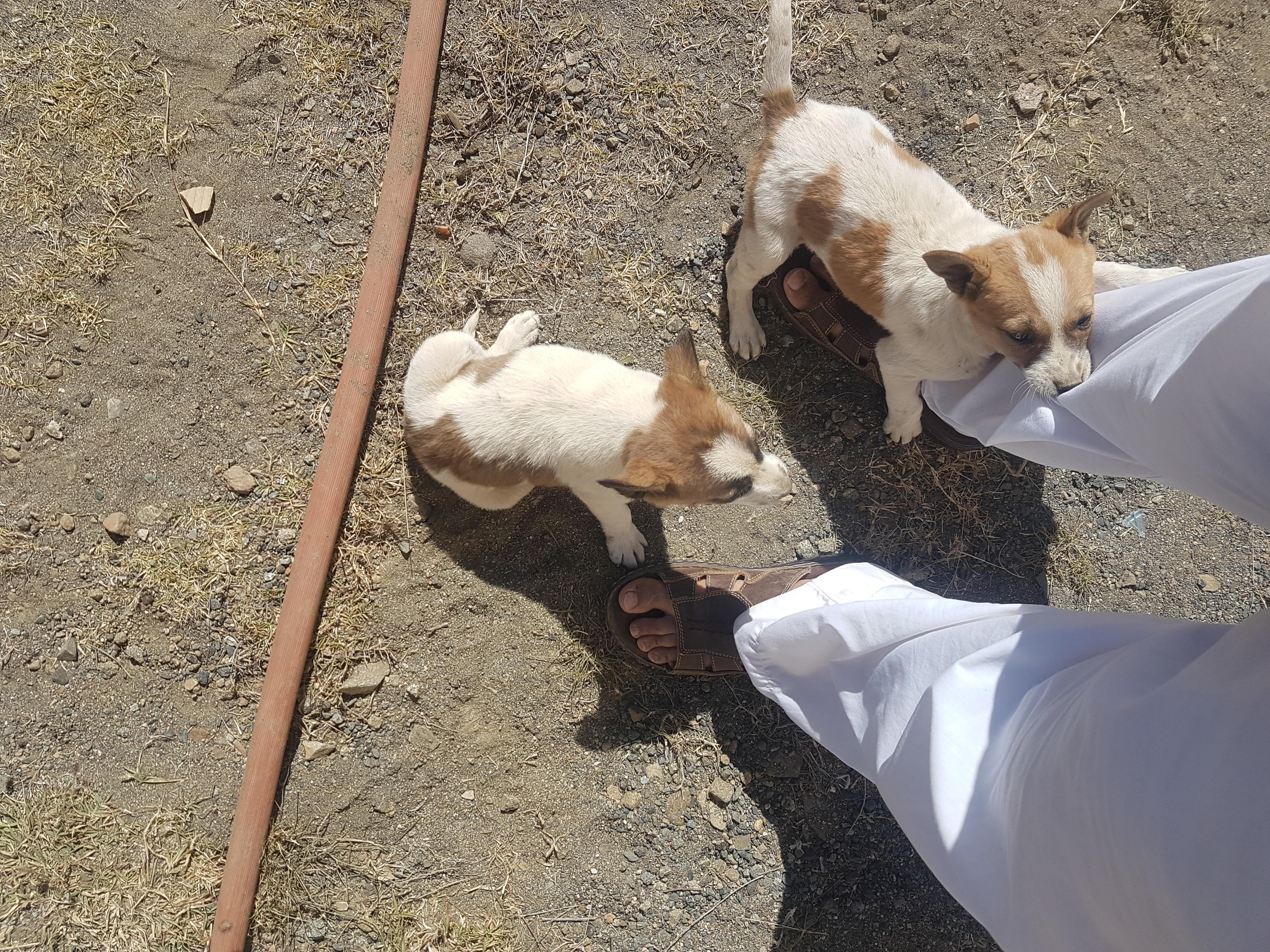 كلاب للبيع صغيره
