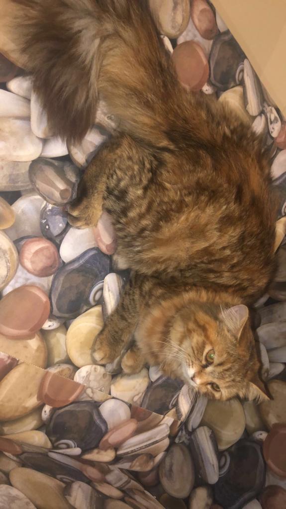 قط هملايا وقطه شيرازي