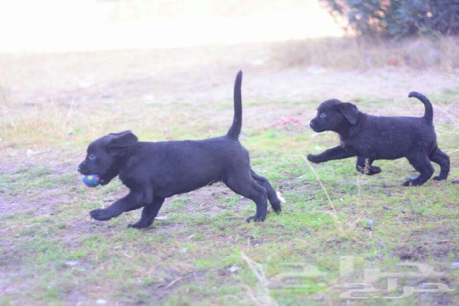 جراء كلب لابرادور labrador