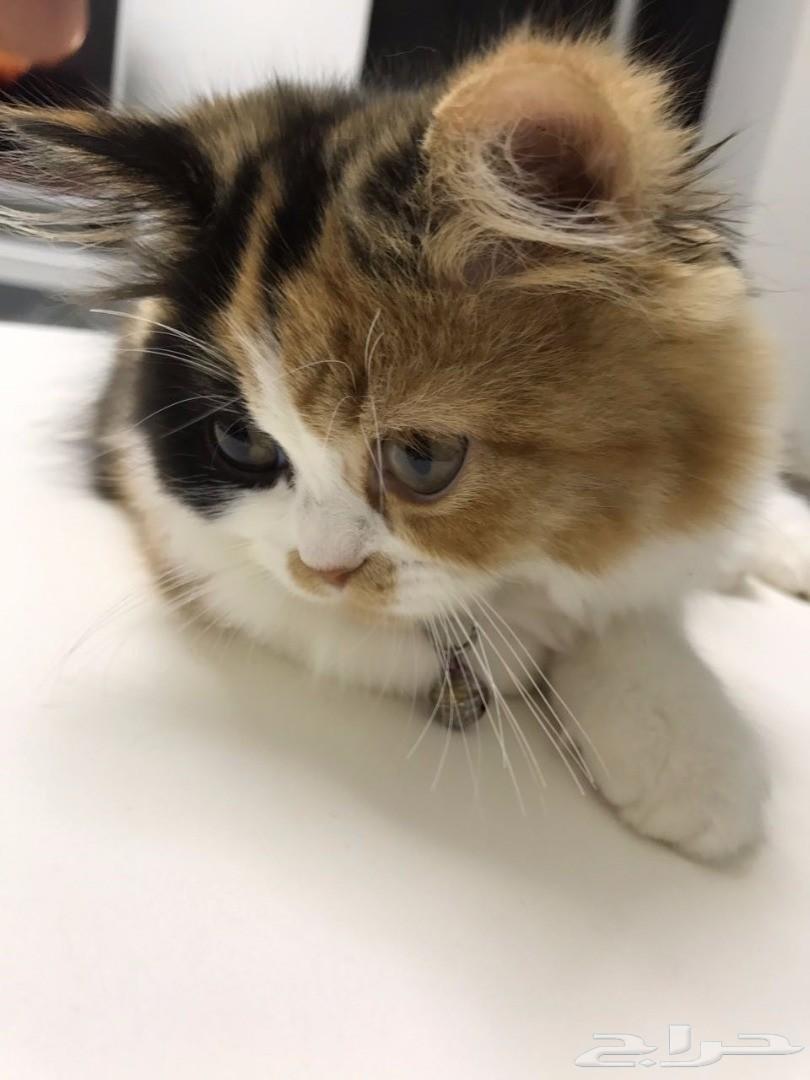 قطة أنثى من أب بيكي فيس بافي أم بيكي فيس شيرازي   810x1080-1_-599c5c68b4cf3