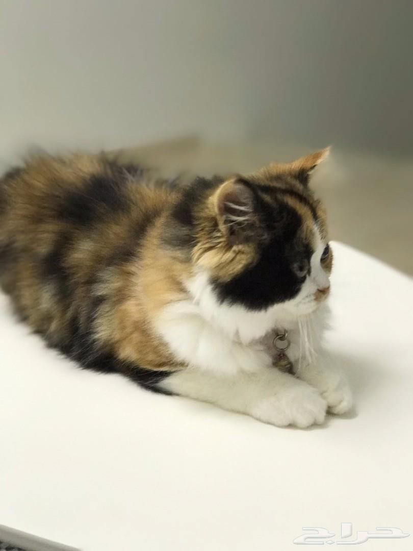 قطة أنثى من أب بيكي فيس بافي أم بيكي فيس شيرازي   810x1080-1_-599c5c6c54589