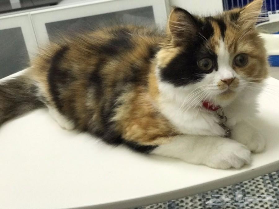 قطة أنثى من أب بيكي فيس بافي أم بيكي فيس شيرازي   900x674-1_-599c5c6b79048