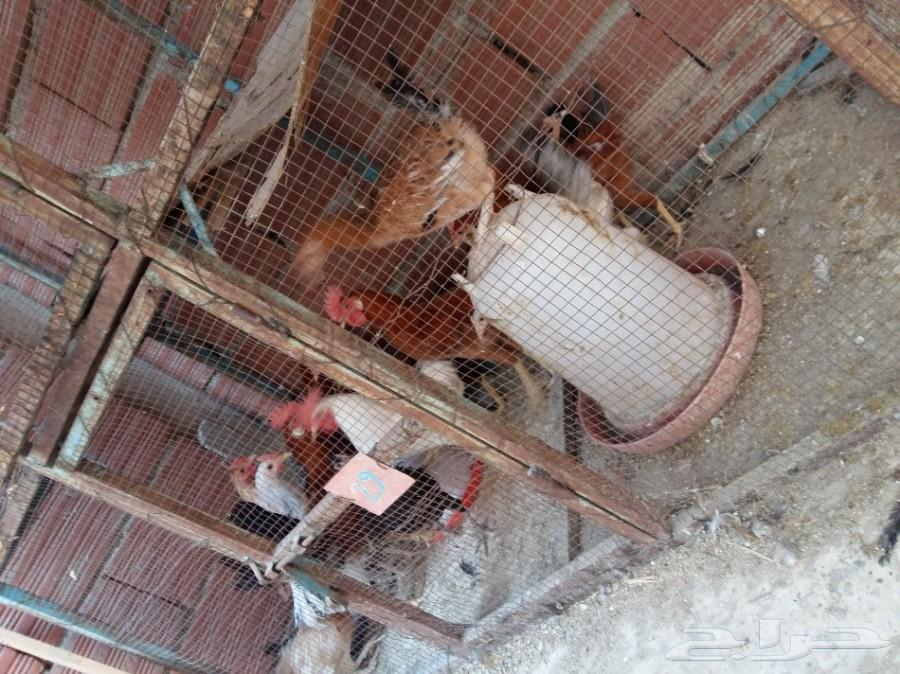 دجاج بلدي للبيع في مكة 900x674-1_-59d39026b4624