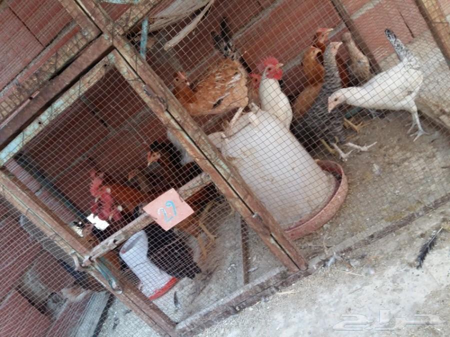 دجاج بلدي للبيع في مكة 900x674-1_-59d39045b9302