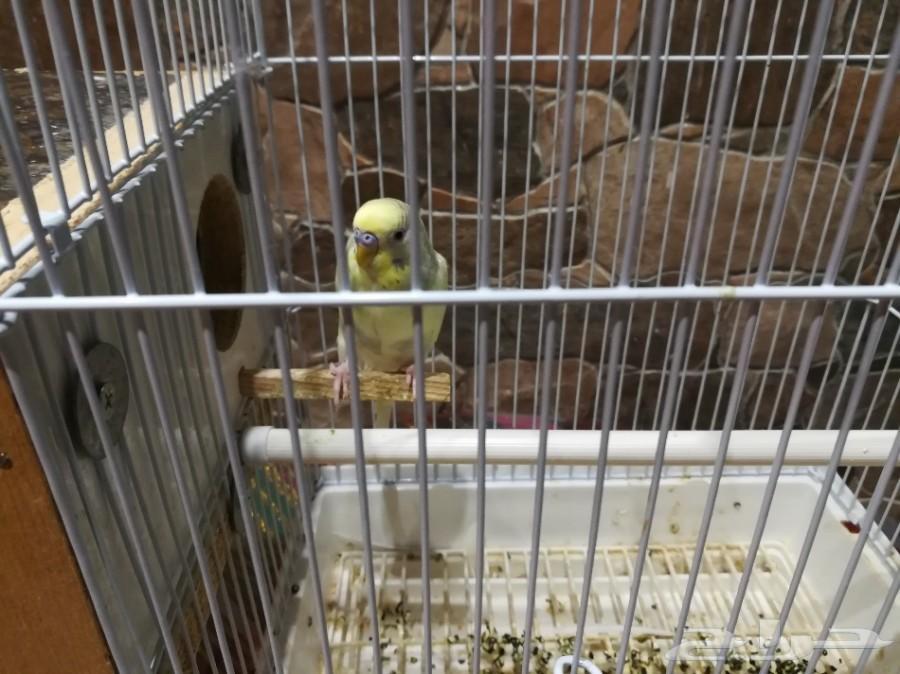 زوج طيور بادجي هولندي للبيع
