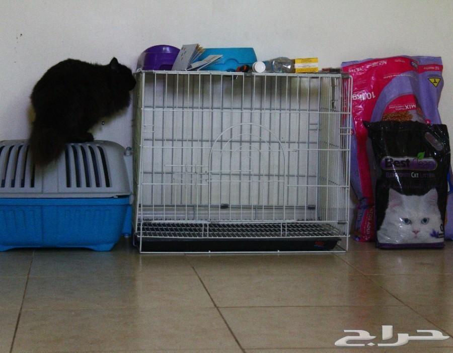 قطط شيرازيه الاحساء 900x702-1_-5aaa76bf6226a