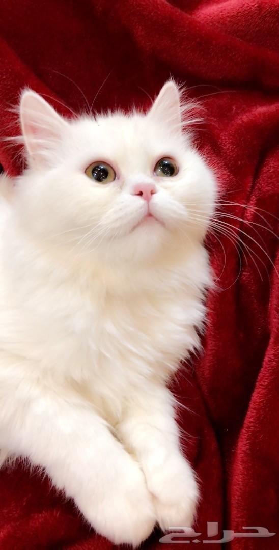 قطة شرازي امريكي