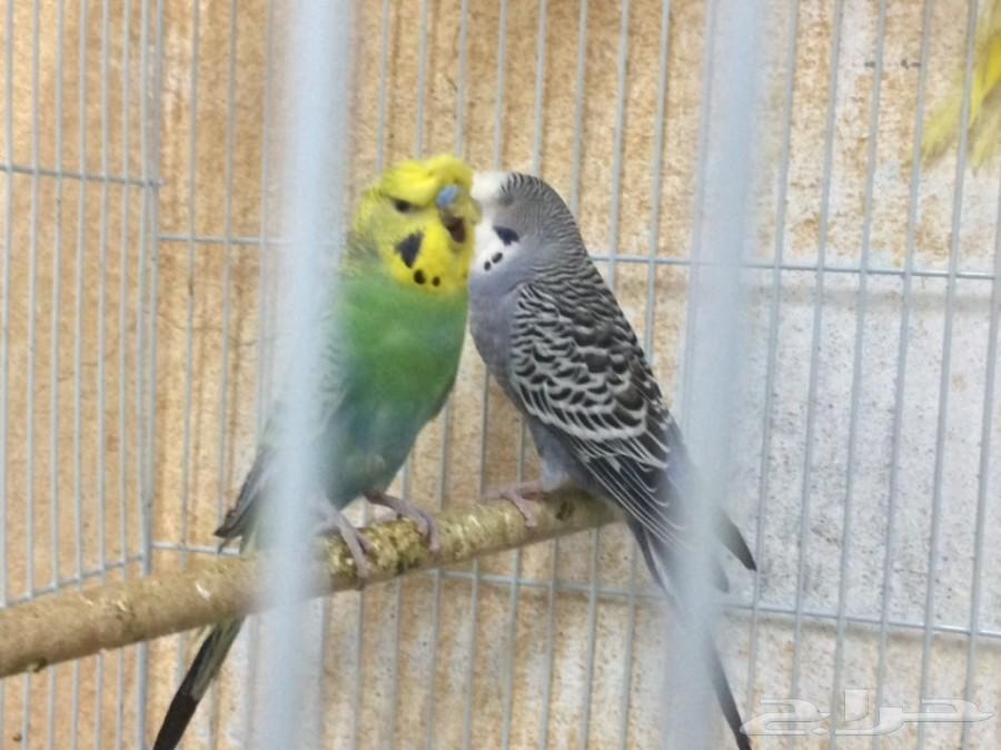 طيور بادجي عدد 9 طبات من نوع كرست