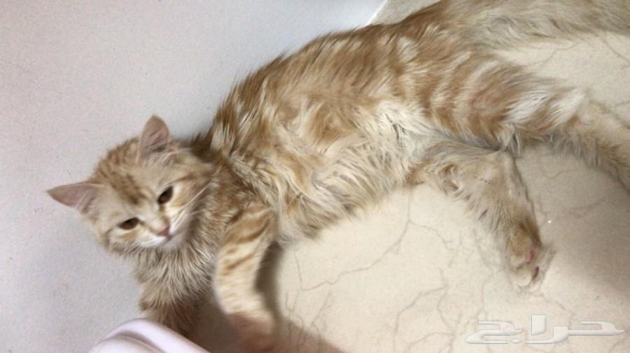 للبيع قطه شيرازيه انثى حامل