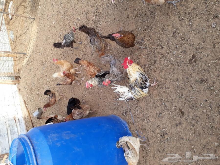 حمام وبيض دجاج بلدي طازج كل يوم