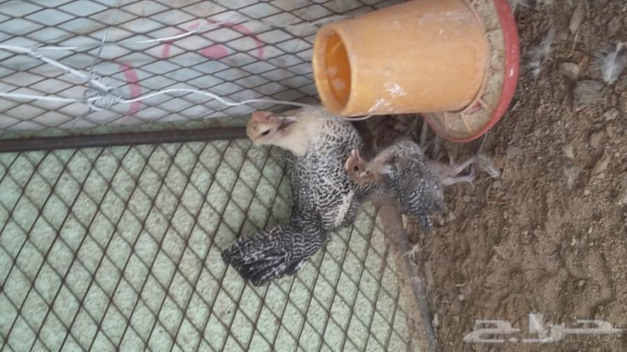 دجاجة افيومية معها 3 جمد صغار